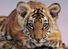 Junger Bengaltiger | (c) by naturepl.com / Andy Rouse / WWF-Canon