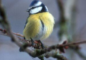 Foto: Artenschutz, Blaumeise (c) Limberger